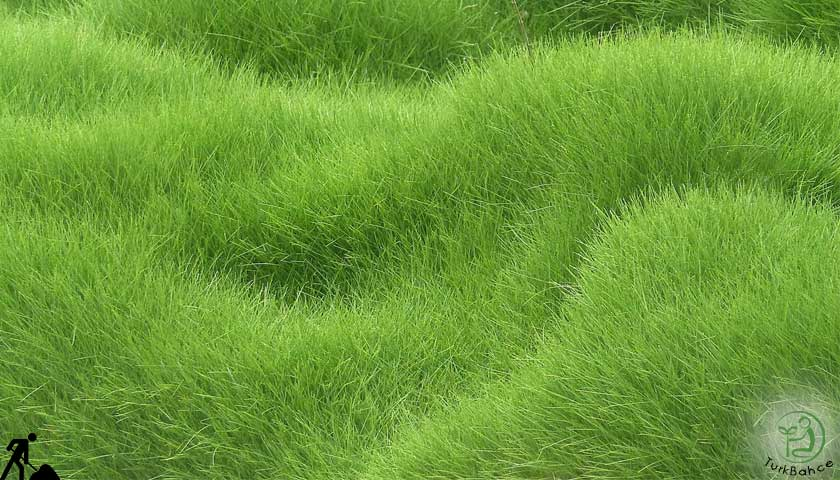 doğal çim