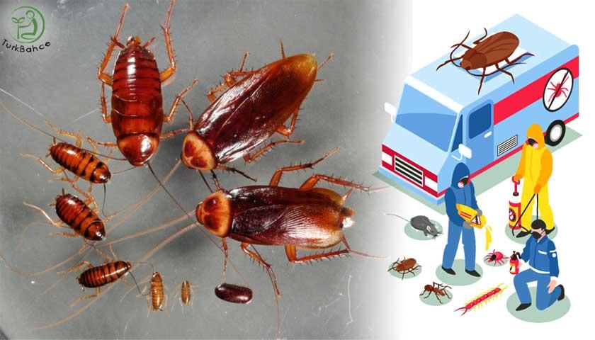 Kalorifer Böceği İlaçlaması
