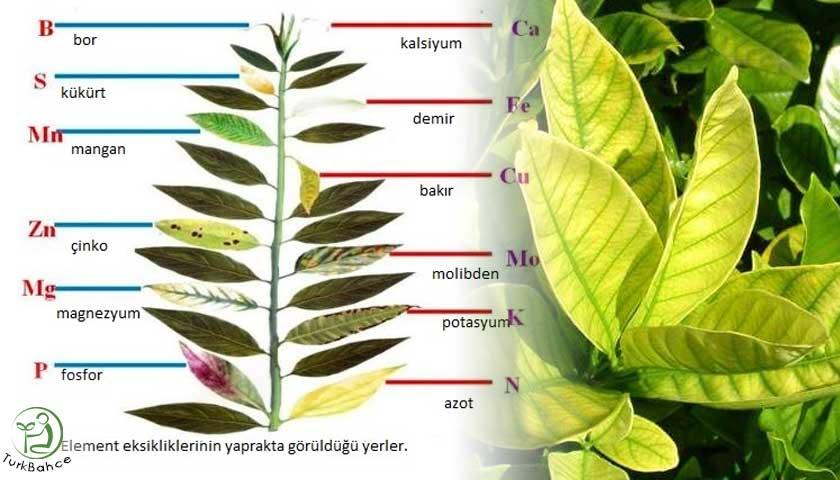 Bitkilerde demir eksikliği ve belirtileri