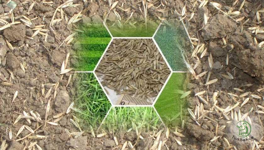 Çim Tohumları