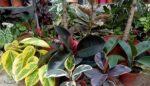 Kauçuk bitkisi