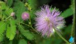 Küstüm Çiçeği