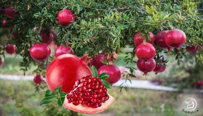 Nar ağacı, nar meyvesi