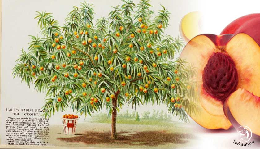 Şeftali Ağacı