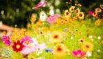 Yaz Mevsiminde Açan Çiçekler